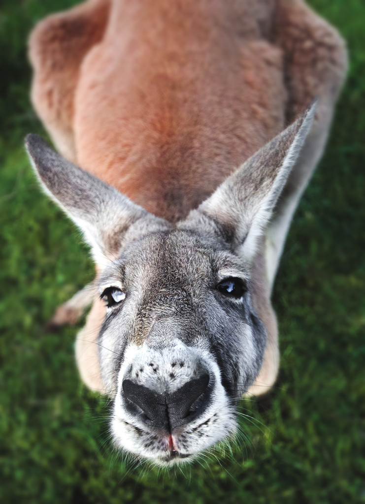 Känguru © Mario Dirks